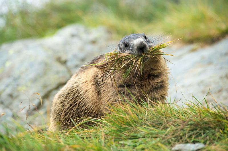 Murmeltier sammelt Gras